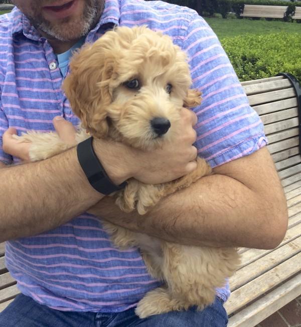 Man Holding Adorable Eleven-Week-Old Goldendoodle Puppy