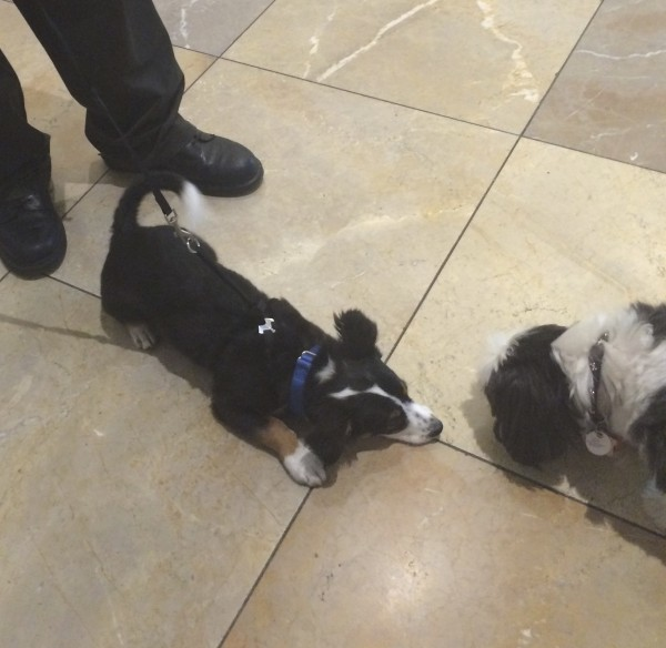 Tricolor Australian Shepherd Puppy With A Tail Lying On The Floor And Looking At A Shih Tzu
