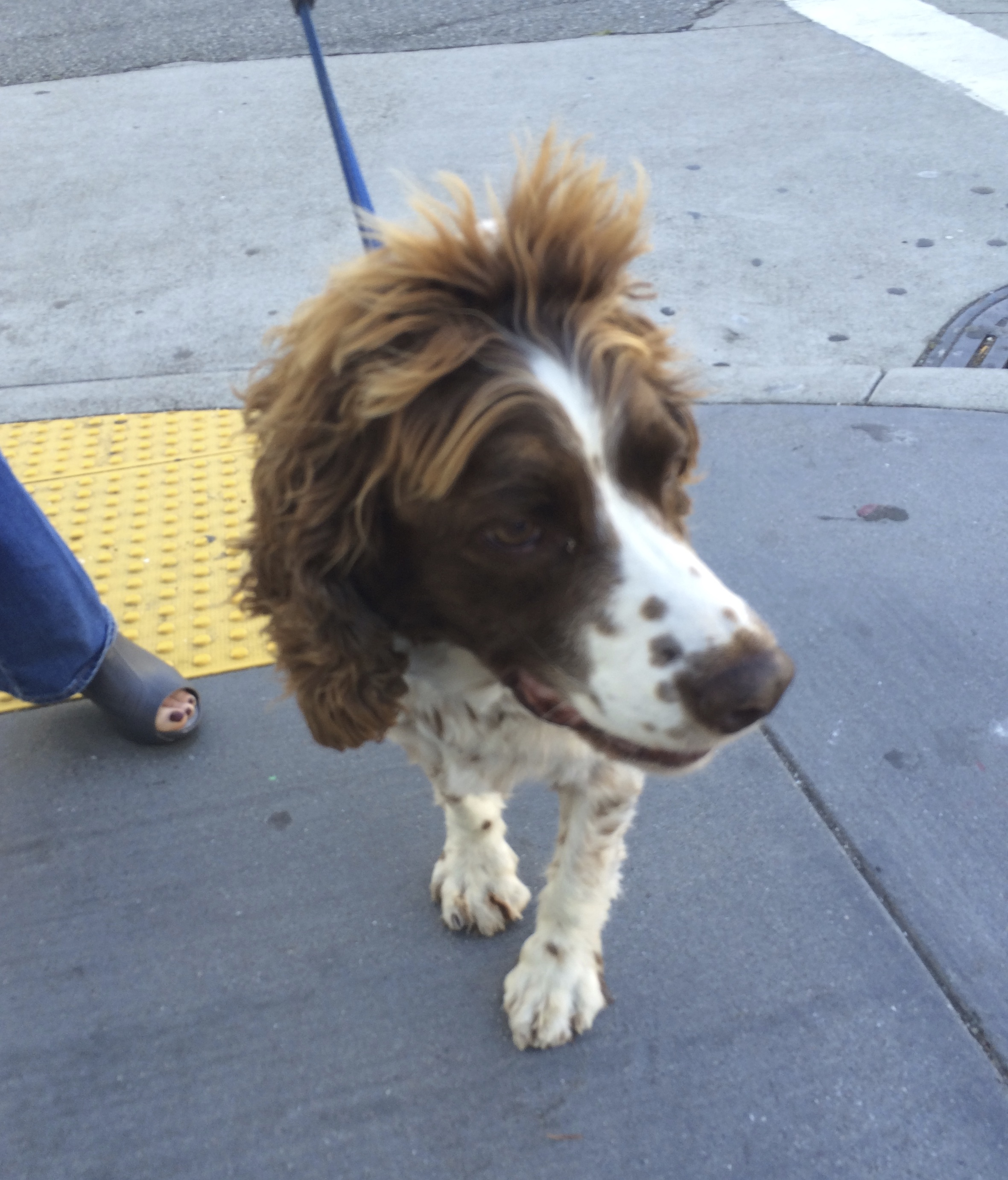 English Springer Spaniel With Very Long Fluffy Hair On Her Head