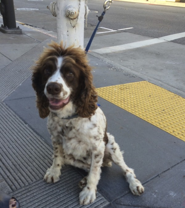 English Springer Spaniel With Fluffy Hair On Her Head