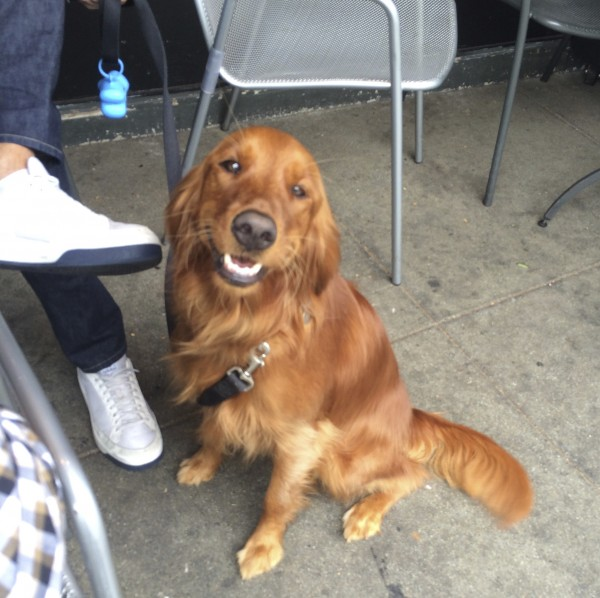 Golden Retriever Irish Setter Mix Smiling