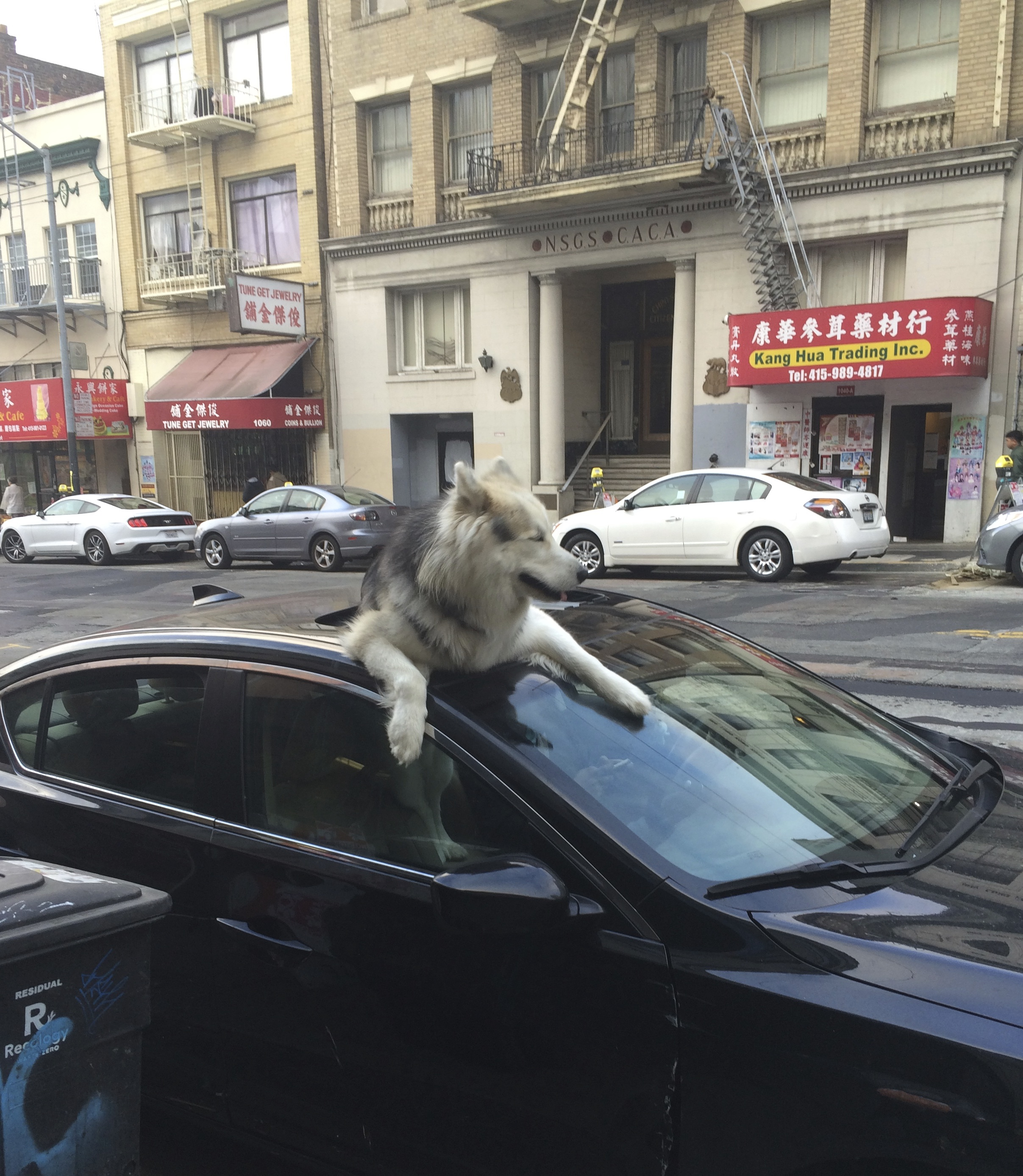 Huge Wooly Malamute Sticking His Head Out A Car Sun Roof