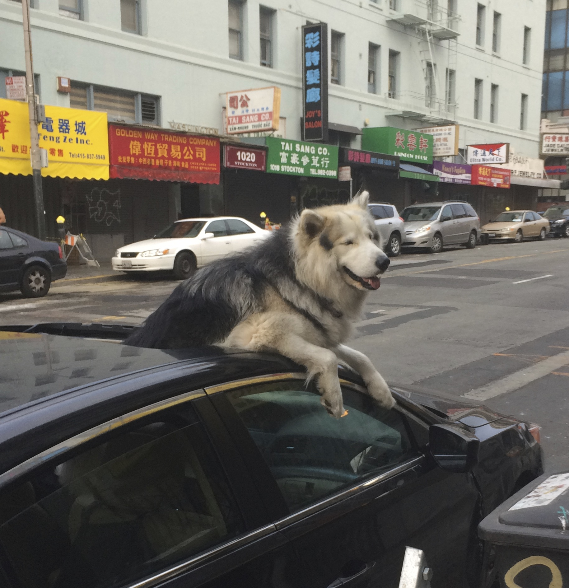 Huge Wooly Malamute Sticking His Head Out A Car Sun Roof And Grinning