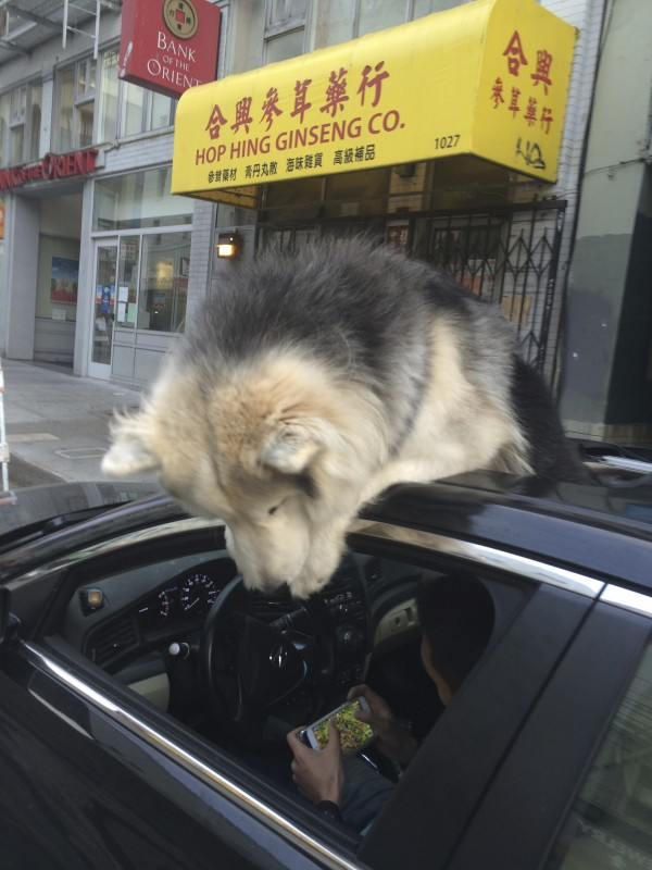 Huge Wooly Malamute Sticking His Head Out A Car Sun Roof And Looking In The Driver's Side Window