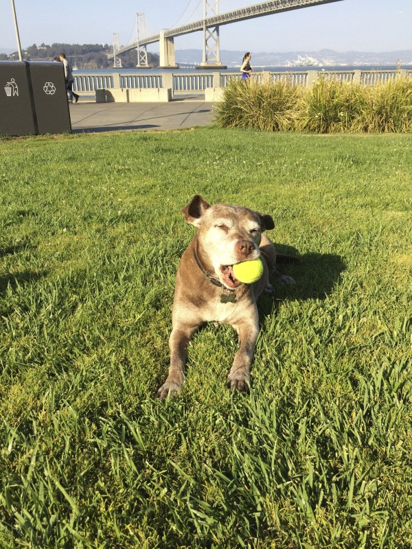 Old Labrador Retriever Pit Bull Mix With Tennis Ball In Front Of The Bay Bridge