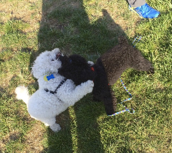Black And White Tiny Poodles Play-Fighting