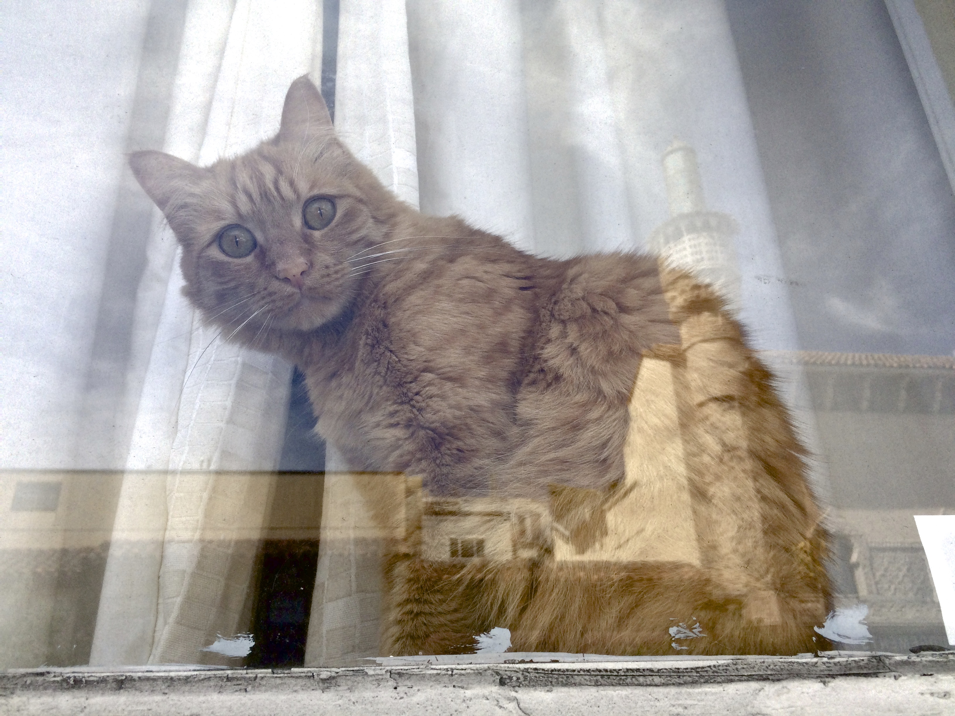 Marmalade Tabby In A Window Looking At The Camera Through Reflections