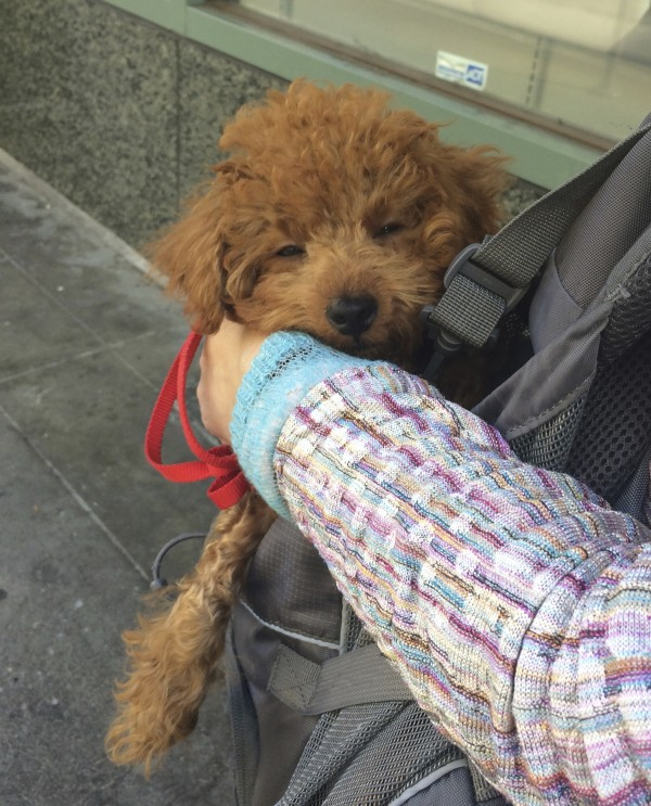 Red Miniature Poodle Puppy Napping In A Carrying Sling