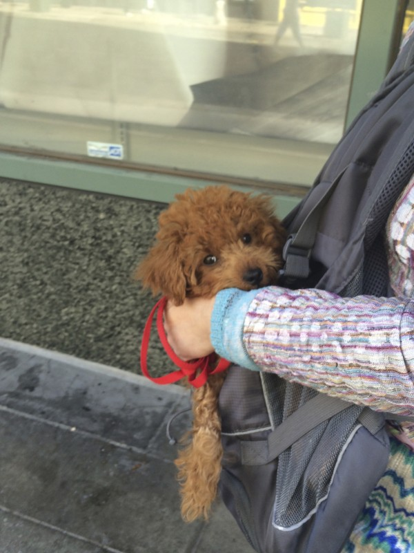 Red Miniature Poodle Puppy In A Carrying Sling