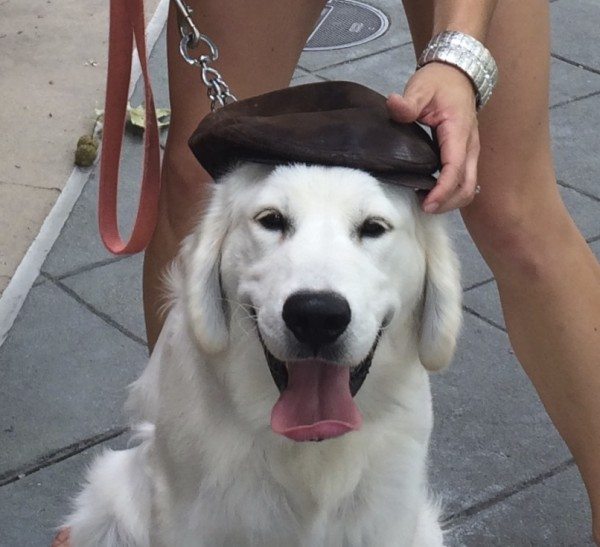 Young English Cream Golden Retriever Wearing A Leather Flat Cap