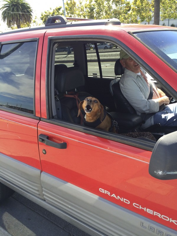 Dachshund Barking In The Window Of A Red Grand Cherokee