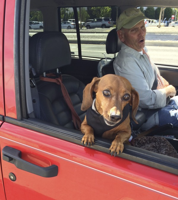 Dachshund Looking Demure In The Window Of A Red Grand Cherokee