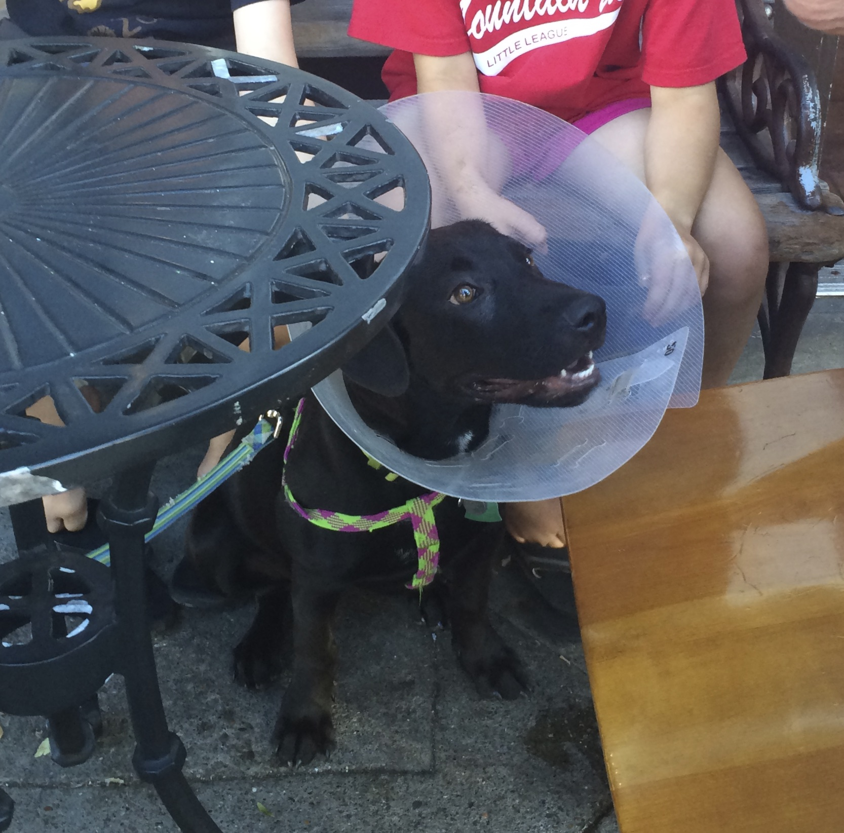 Black Lab Mix Puppy In A Cone Of Shame