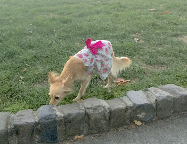 Tan Chihuahua Pomeranian Mix In A Flowered Dress Sniffing At The Curb