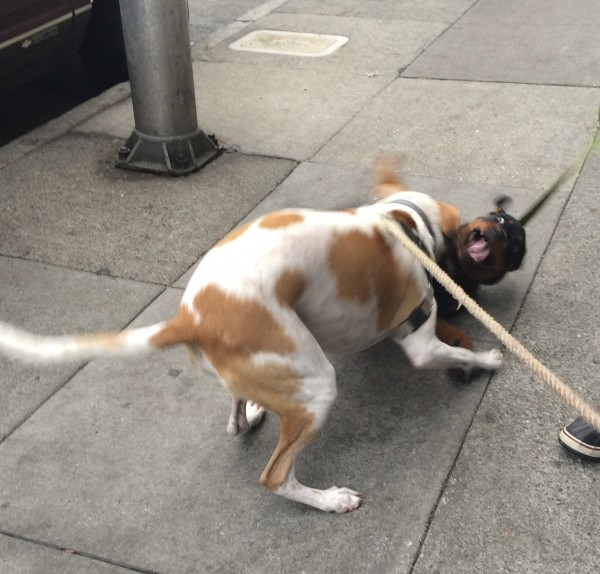 Hound Mix And Rottweiler Playing