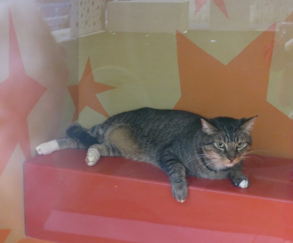 Tiger Tabby Cat In A Shop Window