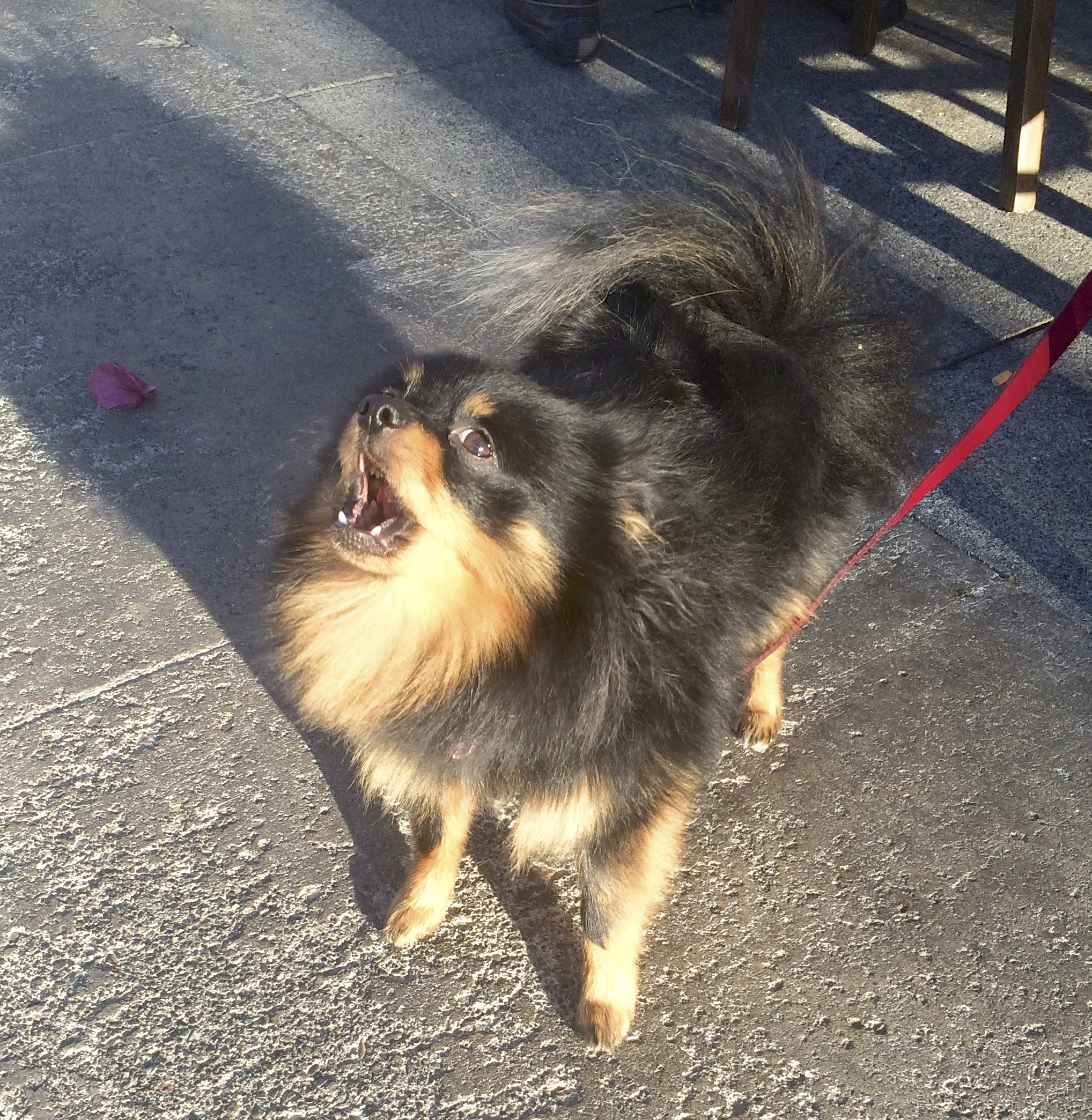 Black And Tan Fluffy Pomeranian Singing The Blues