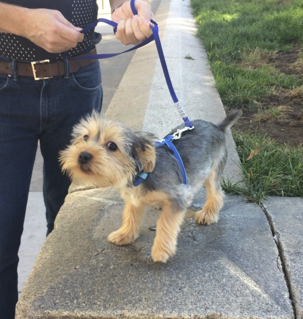 Three Month Old Yorkshire Terrier Puppy