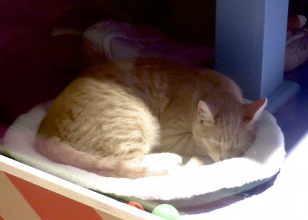 Marmalade Tiger Tabby Sleeping On A Cat Bed