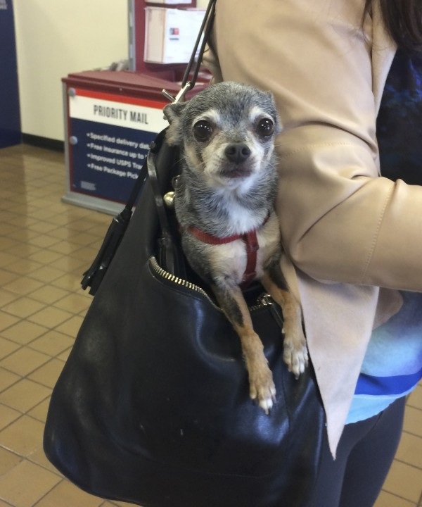 Derpy-Looking Chihuahua In A Leather Sack