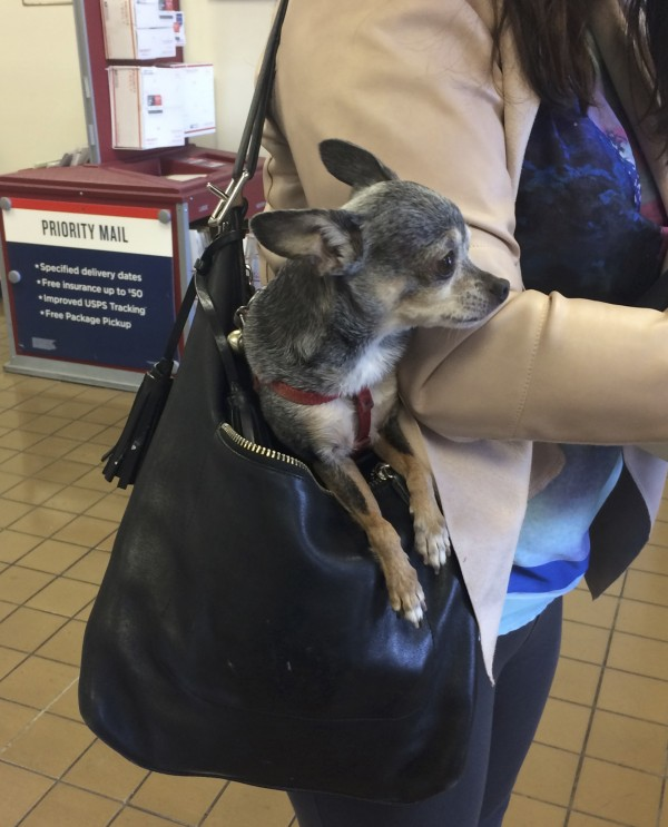 Chihuahua In A Leather Purse