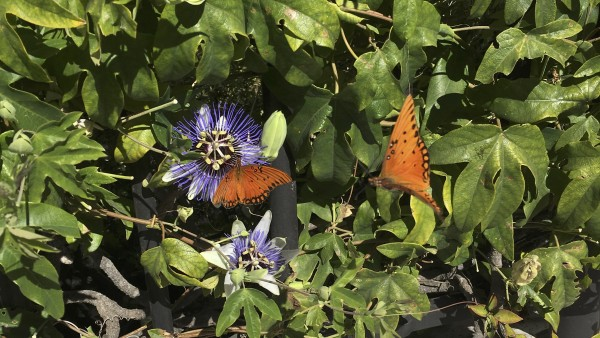 Two Orange Butterflies With Black Spots (Gulf Fritillaries), One Flying, One On A Purple Flower