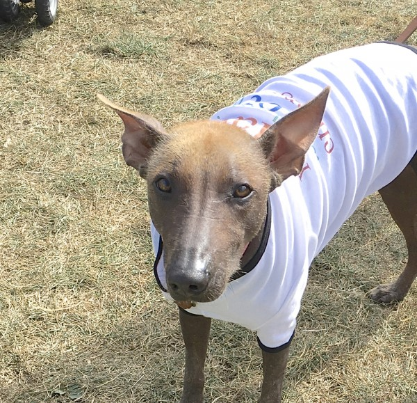 Mexican Hairless Dog In A Tee Shirt
