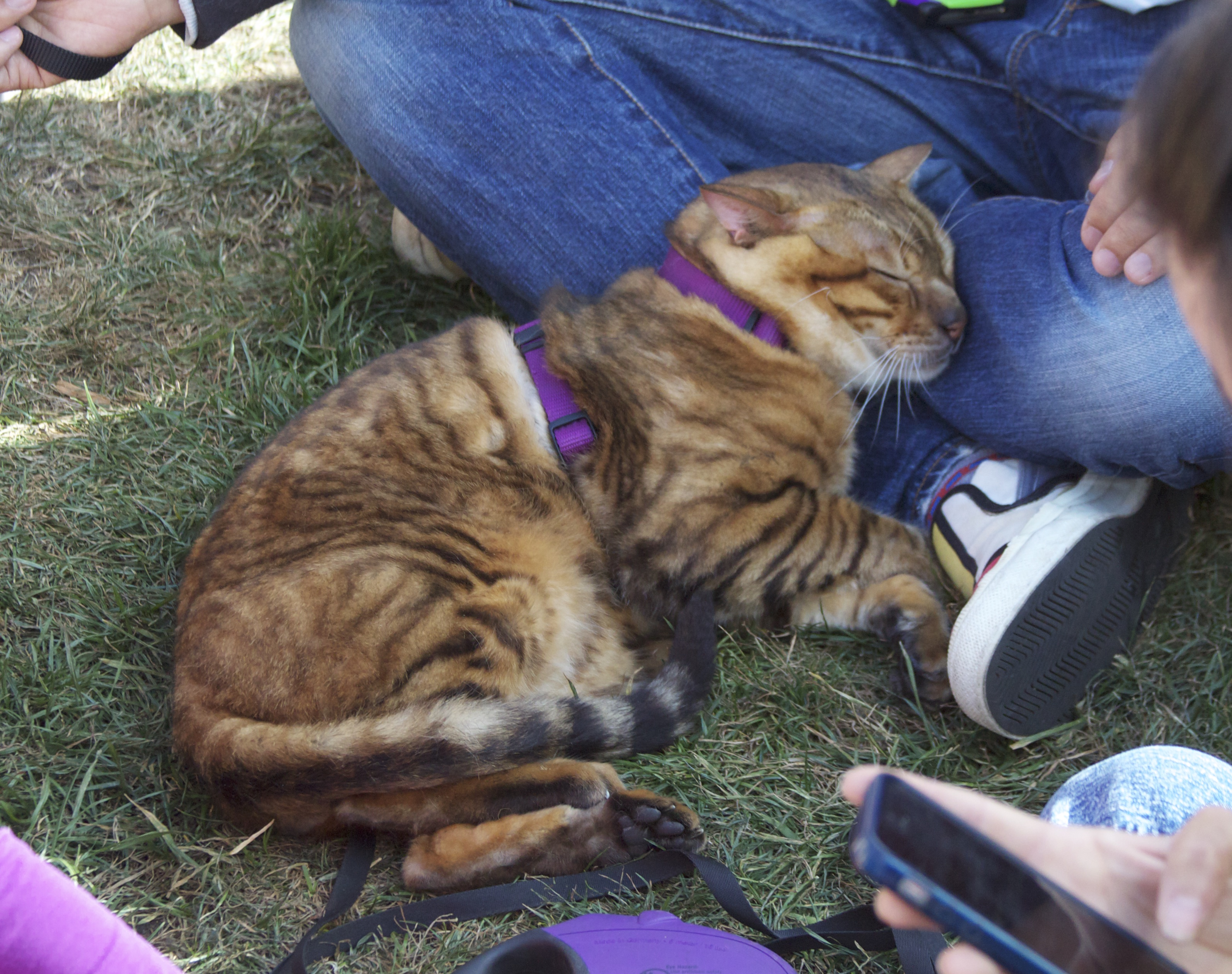 Orange And Black Tiger Tabby Cat Sleeping On The Grass With Head On Man's Leg