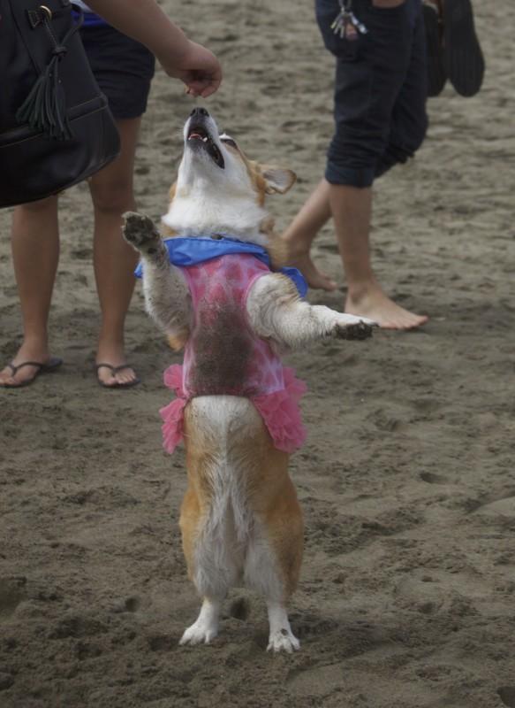 Corgi In A Dress Dancing