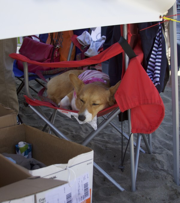 Pembroke Welsh Corgi Sleeping In A Camp Chair