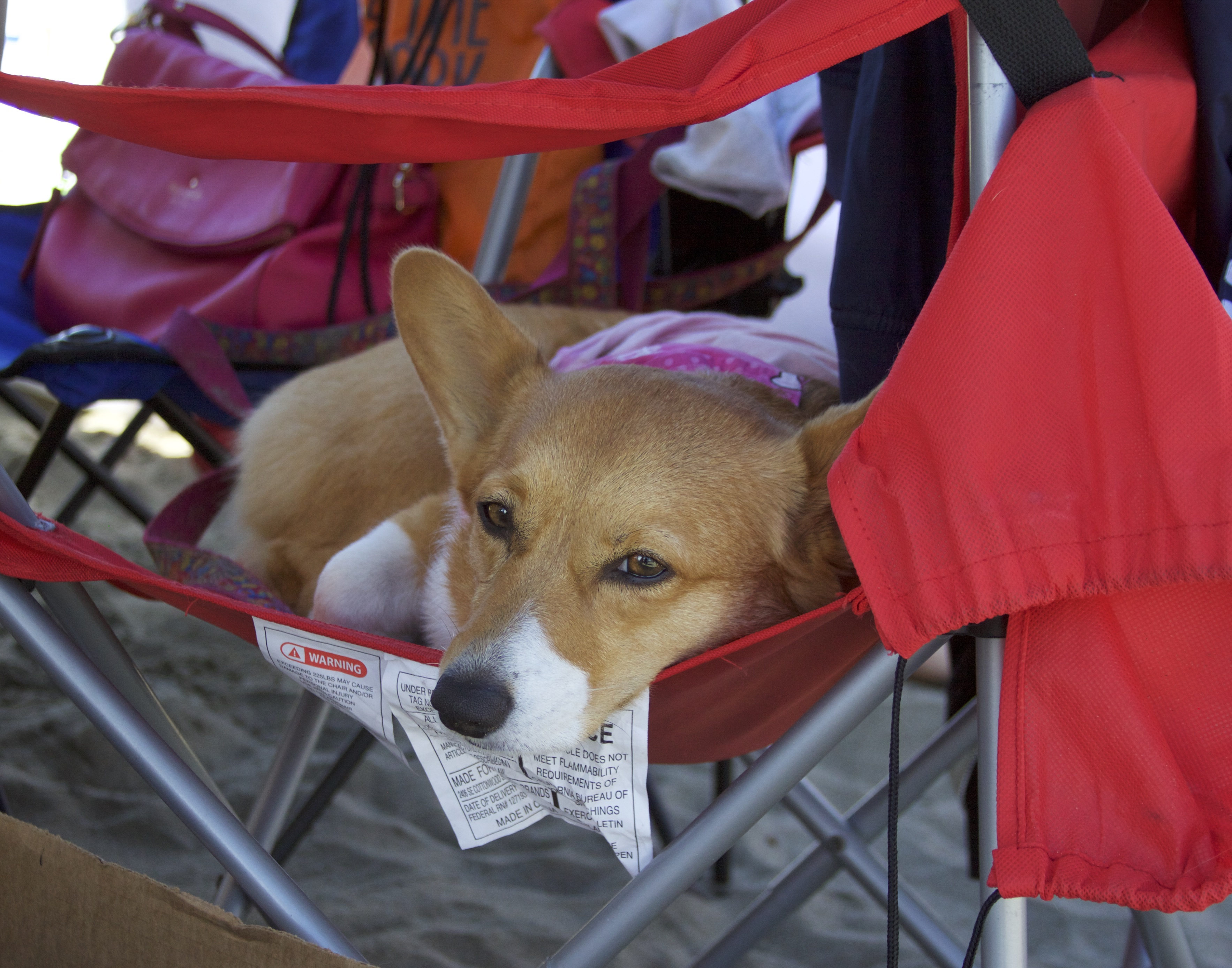 Pembroke Welsh Corgi Lying In A Red Camp Chair And Staring At The Camera