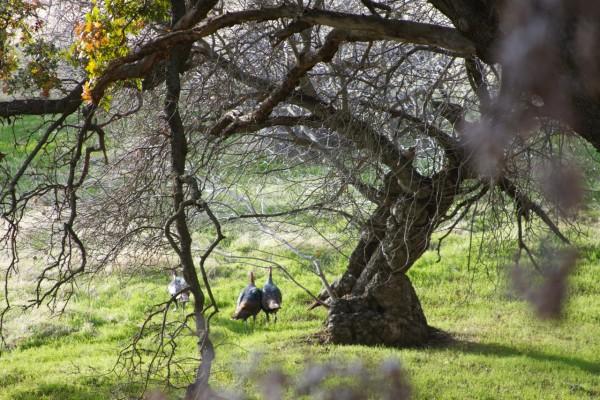 Wild Turkeys Running Away From Camera In Vasco Caves Area