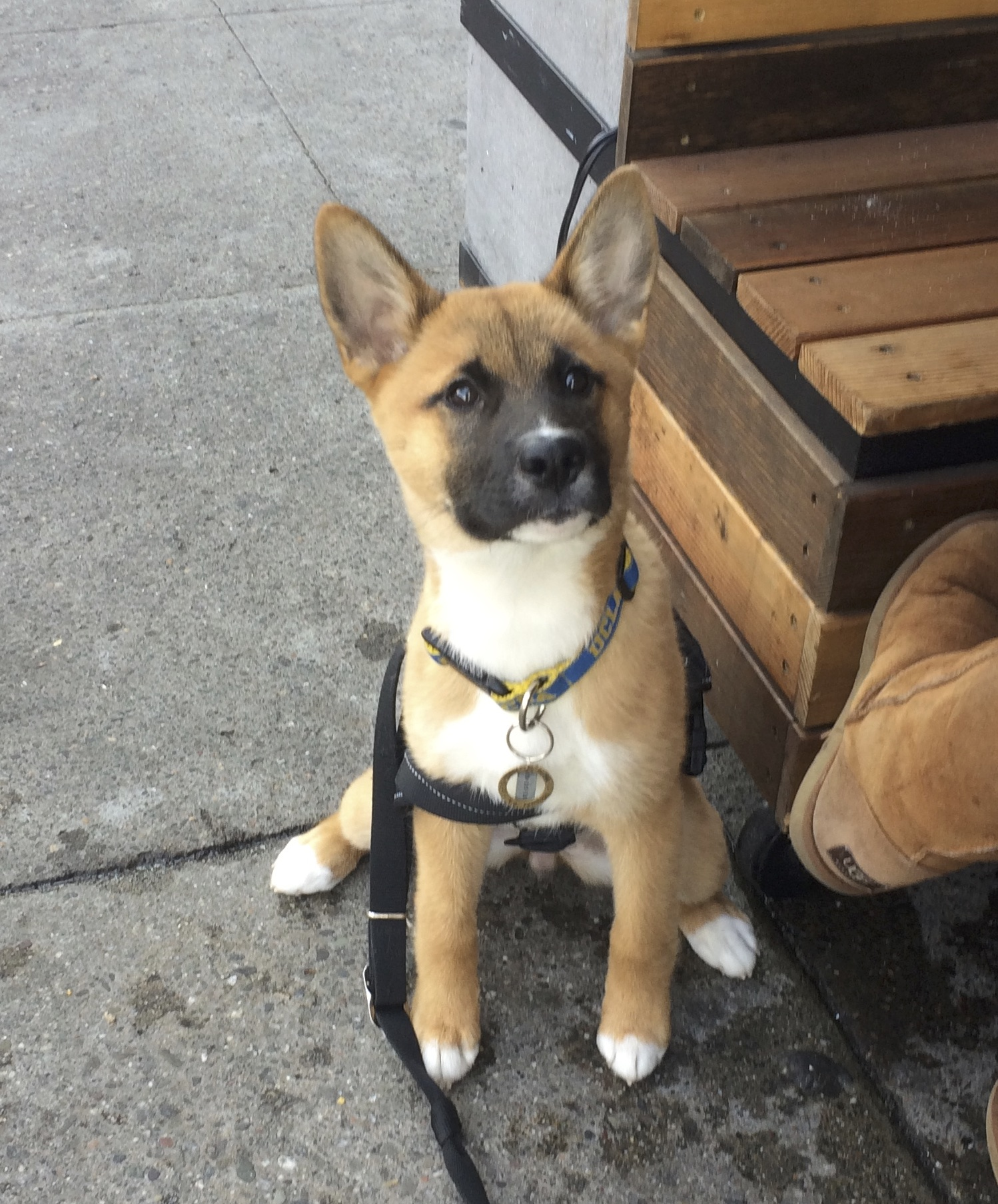 Jindo Husky Akita Mix Puppy Looking Fucking Adorable
