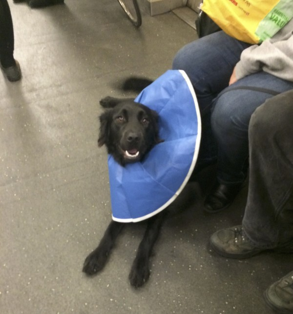 Black Border Collie Lab Mix In A Flexible Blue Elizabethan Collar