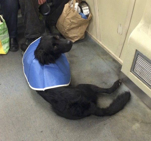 Black Border Collie Lab Mix In A Flexible Blue Cone Of Shame