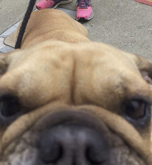 Fawn Miniature English Bulldog Getting Nose All Up In The Camera's Bidness