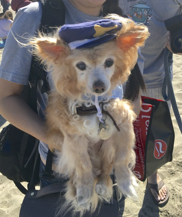 Long-Haired Chihuahua Mix Dressed As A Sailor