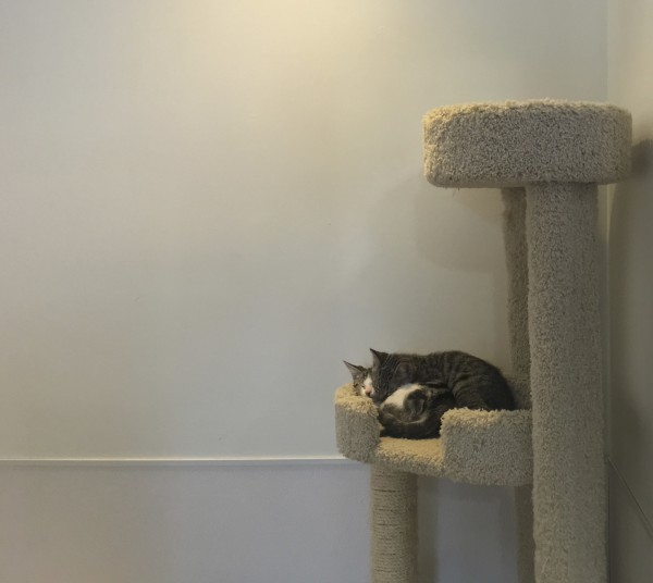 Two Grey Tiger Tabbies Asleep All Cuddled Up On A Cat Tree