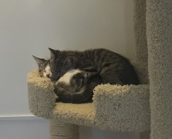 Grey Tiger Tabbies And Kitten With Pink Nose Asleep All Cuddled Up On A Cat Tree