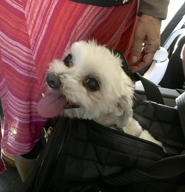 Maltese In A Black Bag