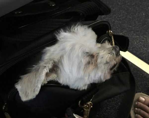 Maltese Sleeping With His Head Sticking Out Of A Black Bag