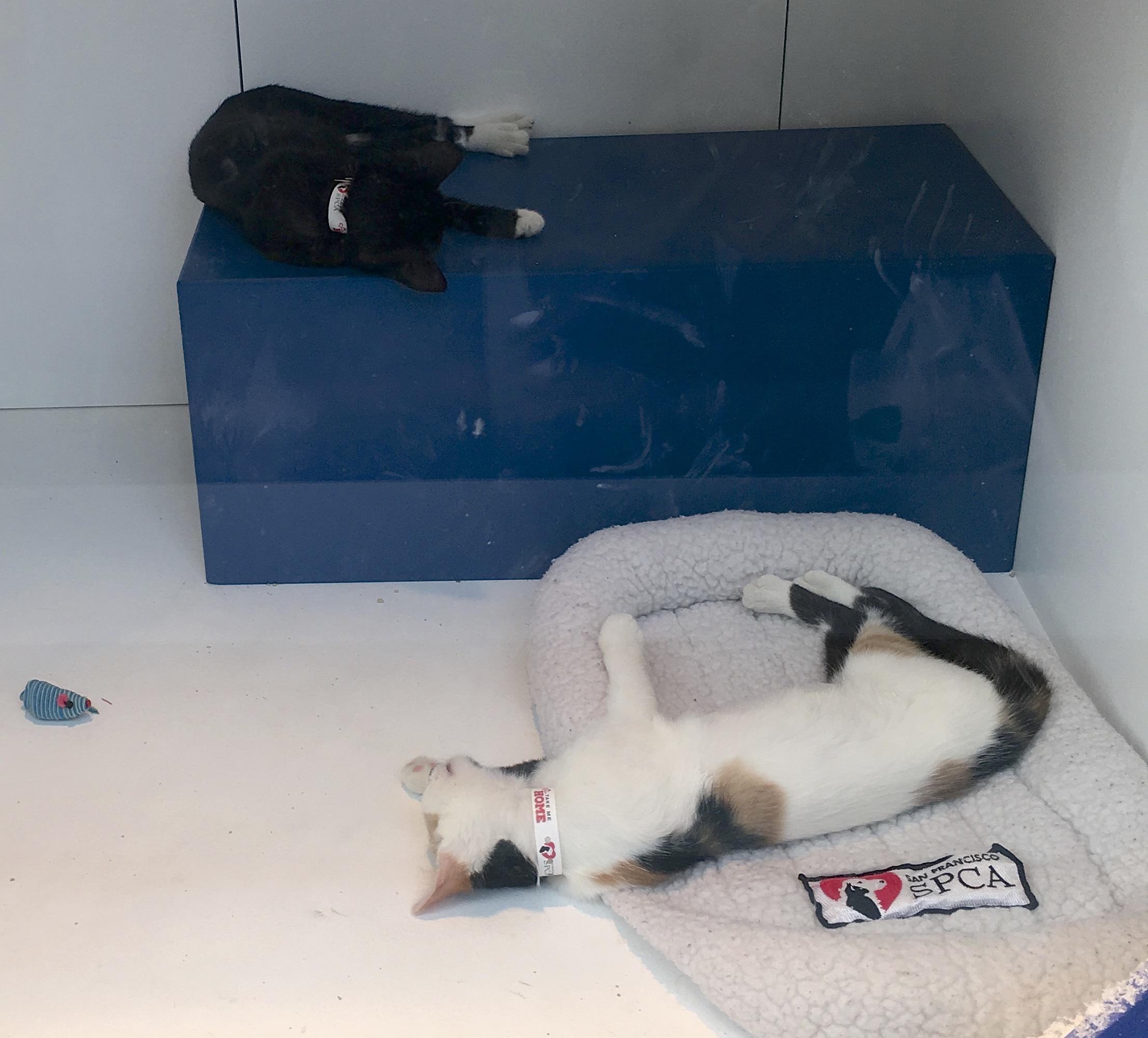 Calico Kitten And Black Kitten With White Socks Sleeping