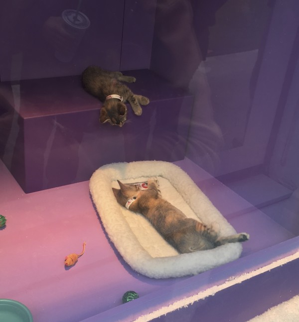 Two Kittens In San Francisco Macy's Shop Window