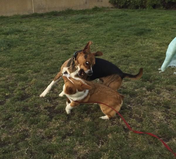 Corgi And Hound Playing
