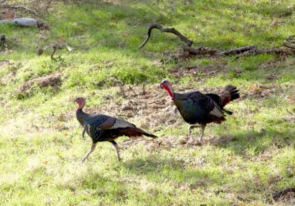 Two Wild Turkeys In Vasco Caves Area