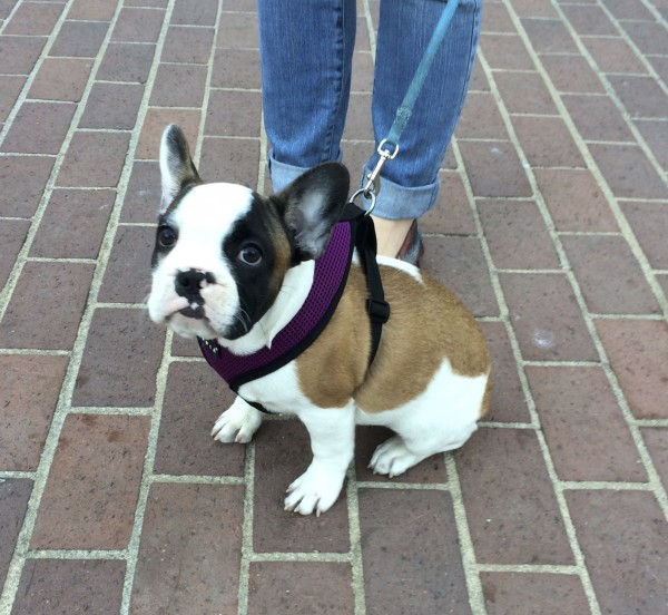 Fifteen-Week-Old French Bulldog Puppy