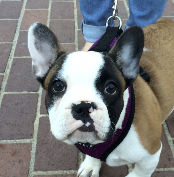 Fifteen-Week-Old French Bulldog Puppy Face