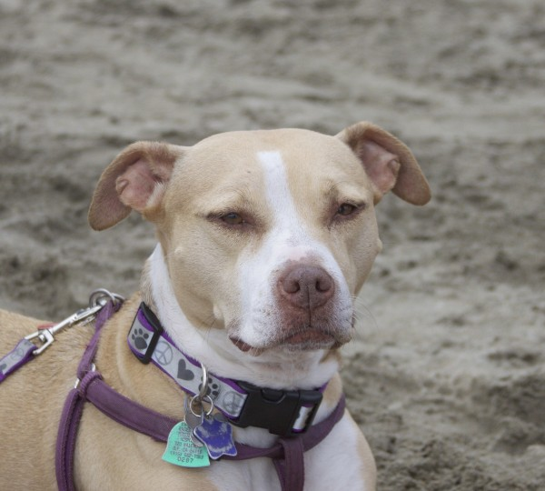 American Pit Bull Terrier Mix Looking Very Contemplative