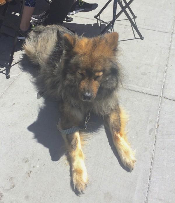 Eurasier Laying On A Sunny Sidewalk