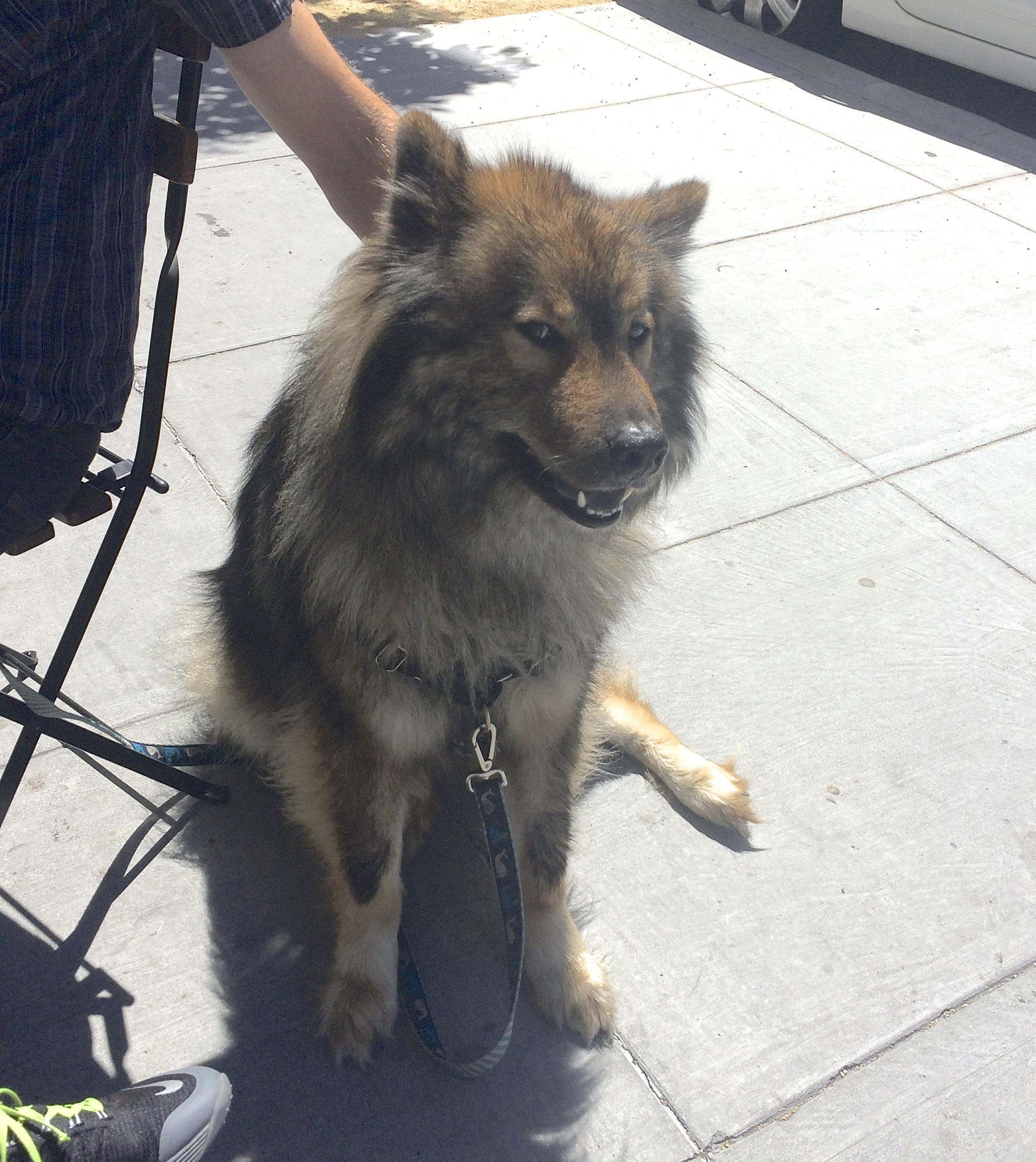 Eurasier Sitting On A Sunny Sidewalk